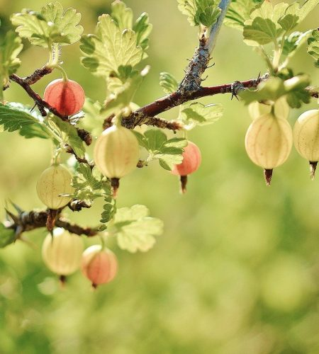 gooseberry, fruits, red
