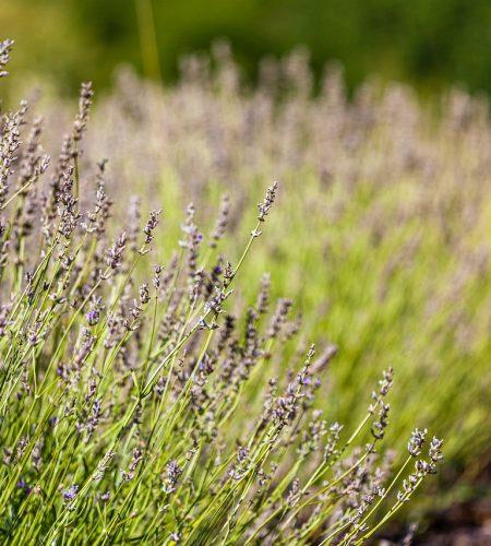 south, france, lavender